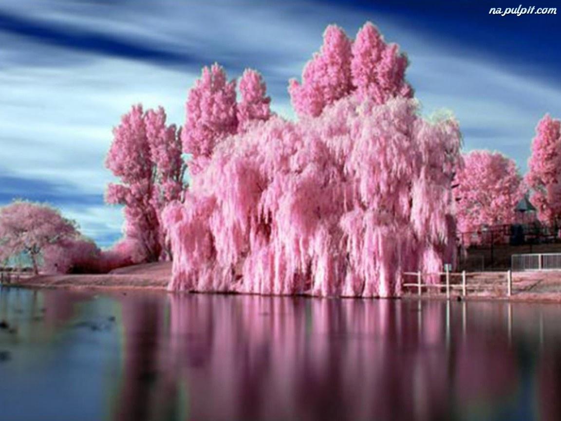 Drzewo, Piękne, Różowe Na Pulpit: www.tapeta-piekne-drzewo-rozowe.na-pulpit.com